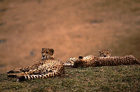 Cheetah Family, Image No. W025, Available as Limited Edition Print