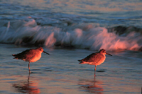 Sandpipers at Dusk, Image No. W024, Available as Limited Edition Print