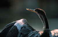 Anhinga Portrait, Image No. W022, Available as Limited Edition Print